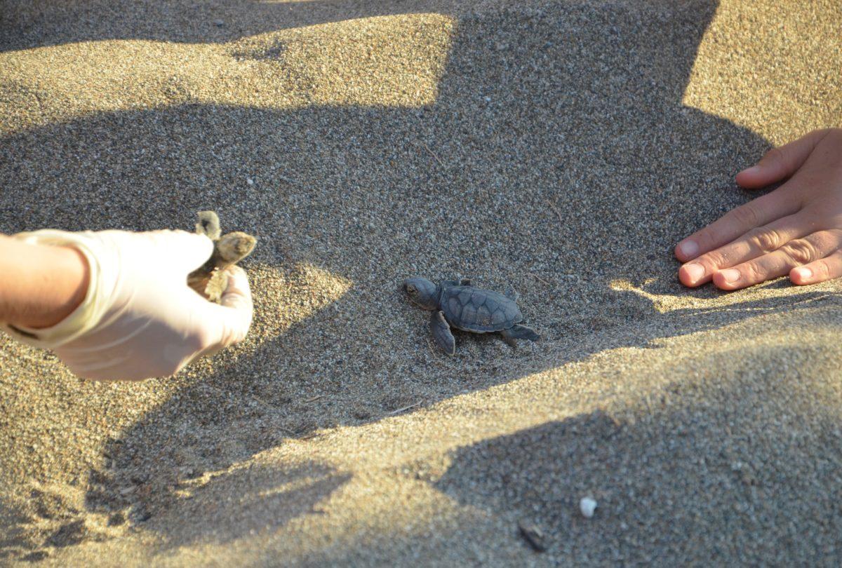 gruene Meeresschildkrötenschlüpfling