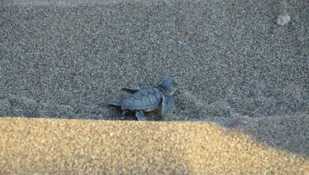 gruene Baby-Meeresschildkröte