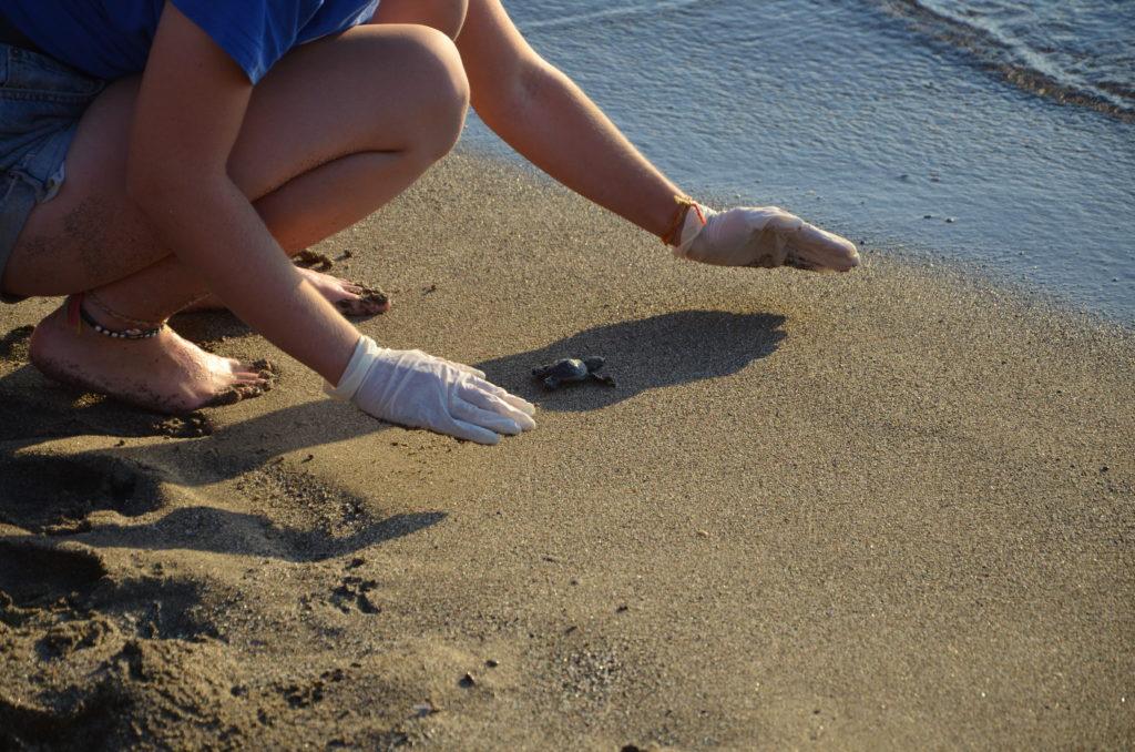 Meeresschildkrötenbaby auf dem Weg ins Meer